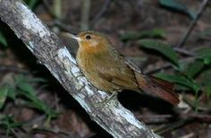 Planalto Foliage-gleaner(Syndactyla dimidiata)