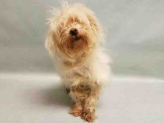 SUPER URGENT Manhattan Center GRACIE – A1098781  FEMALE, WHITE, MALTESE, 7 yrs OWNER SUR – ONHOLDHERE, HOLD FOR ID Reason COST Intake condition EXAM REQ Intake Date 12/05/2016, From NY 10457, DueOut Date 12/12/2016, I came in with Group/Litter #K16-083479.