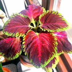 Esittelyssä värinokkonen Coleus kong red Plants, Red, Flora, Plant, Planting, Rouge