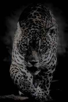 "earthandanimals: "" Walk of the Jaguar by Stephen Moehle "" Animals And Pets, Baby Animals, Cute Animals, Wild Animal Wallpaper, Jaguar Animal, Jungle Cat, Majestic Animals, Beautiful Cats, Big Cats"