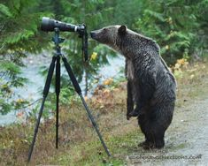 A once-in-a-lifetime shot of a grizzly bear appearing to set up a photo has a B. wildlife photographer in the middle of a viral cyberstorm, 2014 - by Jim Lawrence, Canadian Animals And Pets, Funny Animals, Cute Animals, Wild Animals, Beautiful Creatures, Animals Beautiful, Animals Amazing, Cute Bear, Photo Animaliere