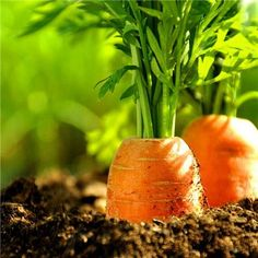 100 pcs/ 7 colors rainbow carrot seeds Vegetable seeds