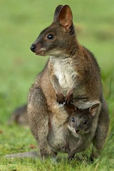 Pademelon (Wallaby) and Joey ~ By Sean Crane
