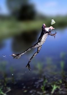 "Kim Taylor, the ""godfather of wildlife photography,"" caught this frog mid-leap using homemade equipment automatically triggered by the critter's motion."