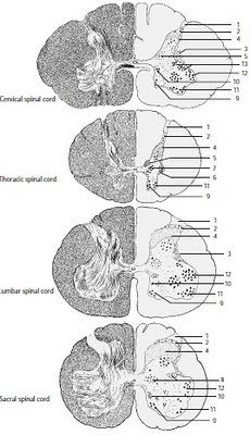 Respiratory Center Consists of: Brain stem (Pons & Medulla