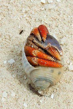 hermit crab in the sand, red claws Beautiful Creatures, Animals Beautiful, Underwater Life, Deep Blue Sea, Ocean Creatures, Mundo Animal, Am Meer, Sea And Ocean, Sea World