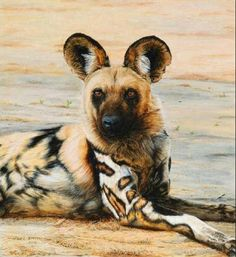 The African wild dog, also called Cape hunting dog or painted dog, typically roams the open plains and sparse woodlands of sub-Saharan Africa.