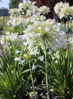 Plant Catalog - AGAPANTHUS AFRICANUS ALBUS