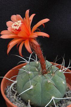British Cactus & succulent Society - Matucana madisoniorum