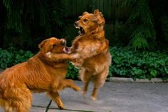 dog-fight-play-AndrewMorrellPhotography-getty.jpg - Andrew Morrell Photography/Getty Images