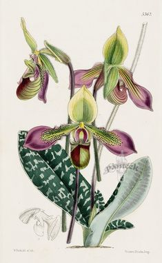 Cypripedium Hookerae Orchid from Orchid botanical lithographs from the Fitch Curtis Years
