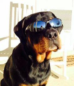 Cool #Rottweiler