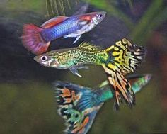 Aquarium Care for Freshwater Guppies