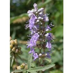 Vitex Agnus-Castus Seeds (Chaste Tree, Chasteberry Seeds) - See more at: http://www.rarexoticseeds.com/en/medicinal-plants-seeds/vitex-agnus-castus-seeds-chaste-tree-chasteberry-seeds.html