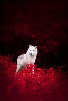Wolf in Wonderland by Dustin Abbott on 500px