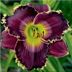 'All My Love to You' daylily  Can't wait for Spring!!