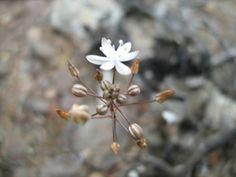 Drimia sclerophylla