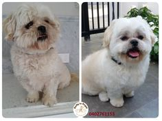 Cute Lolly, Shih Tzu, 4 years young🐼🌳 Thank you Ivy and Lolly 😊 Ratty to Regal - Professional Dog Grooming Service in Bicton  with Lots of Love, Care, Patience and Treats:) Mob.: 04 02 761153 Ula Facebook: https://www.facebook.com/rattytoregal/  Website: https://rattytoregal.wixsite.com/rattytoregal #doggrooming #doggroomer #petstylist #rattytoregal #petgroomer #dogsalon #Bicton #Bictondoggroomer #tidyup #dogs #shihtzu
