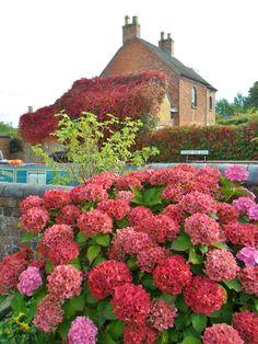 Pink and Red Hydrangeas & Boston Ivy at Gailey Locks, Staffordshire, England All Original Photography byhttp://vwcampervan-aldridge.tum...