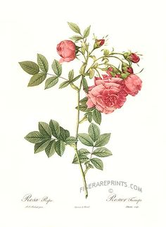 Antique print: picture of Pink Rose (Rosa rapa) -