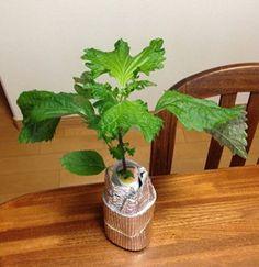 350mlのペットボトルで育てたシソ Water Garden, Herb Garden, Lawn And Garden, Garden Plants, House Plants, Growing Ginger, Growing Herbs, Growing Vegetables, Kitchen Plants