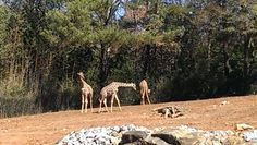 The giraffes are loving the weather! #ZAFanFriday photo from Facebook user Tiffany M.