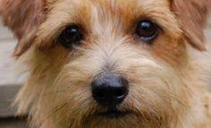 norfolk-terrier