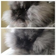 Colonel Meow. World's Angriest Cat. Scroll through the whole album is hilarious
