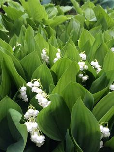 A thicket of Lily of the Valley. You'll never see this in Texas.  Call us at (903) 597-7421 Online at www.breedlovelandscape.com  #tradesecrets #breedlovelandscape #tylertx #tylertexas #tyler #texas