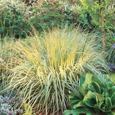 1000 images about ornamental grass on pinterest for Best ornamental grasses for full sun