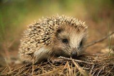 Cute Brown Hedgehog