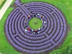 Lavender labyrinth. I WANT ONE.