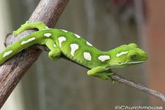 New Zealand Green Gecko Elegan Elegan by churchmousenz, via Flickr.