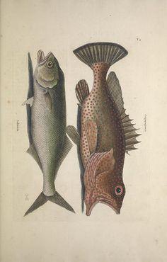 v.2 (1743) [1734-1743, 1747] - The natural history of Carolina, Florida and the Bahama Islands : - Biodiversity Heritage Library