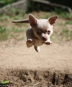 Flying Chihuahua!