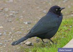 Sacramento Audubon Society - Brewers Blackbird