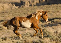 Wild Chestnut Paint Mustang Cantering at a Good Pace.