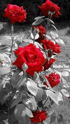 Lindas rosas - My site Red Flowers, Pretty Flowers, Red Roses, Rose Wallpaper, Iphone Wallpaper, Photo Pop Art, Color Splash Photo, Splash Images, Splash Photography