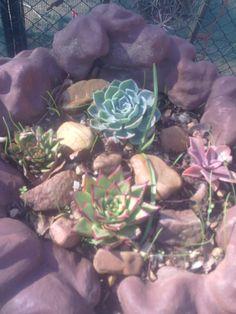Echeveria plantjies wat ek in 'n waterdammetjie geplant het. In die middel is 'n E. Lipstick. Baie geharde plant. (Naomi le Roux)