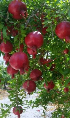 Pomegranate tree love them ………………. Fruit Plants, Fruit Garden, Fruit Trees, Herbs Garden, Beautiful Fruits, Beautiful Flowers, Fruit And Veg, Fresh Fruit, Fruits And Vegetables