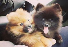 10 weeks old Pomeranian Puppies Altoona - Puppies for Sale