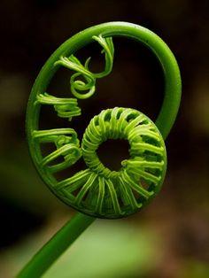 The Koru, Maori symbol of creation Photographie Macro Nature, Spirals In Nature, Fibonacci Spiral, Maori Art, Seed Pods, Patterns In Nature, Natural Forms, Sacred Geometry, Amazing Nature