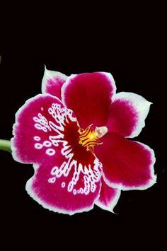 Resultados de la Búsqueda de imágenes de Google de http://i.ehow.com/images/a06/m9/am/miltonia-orchid-care-800X800.jpg