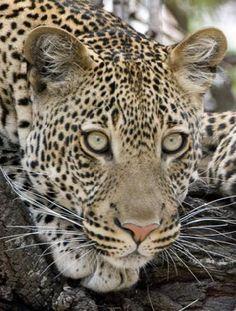 Para mujeres encantadas con el animal print, les dejo uno de los diseños mas populares!  Leopard