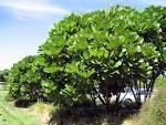 meryta sinclairii - Google Search Dry Garden, Garden Shrubs, Coastal Landscaping, Garden Landscaping, Drought Tolerant Trees, Specimen Trees, Coastal Gardens, Tropical Style, Landscape Plans