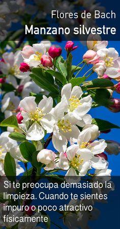 El manzano silvestre fomenta la aceptación del ser físico propio y del ambiente; ayuda a relajar la fijación obsesiva por los detalles. A menudo se utiliza en conexión con problemas en la piel.