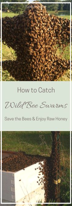 How to Catch Wild Bee Swarms