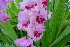 Resultado de imagem para gladiolo flor