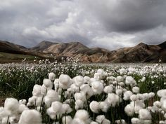 Cotton grass, Landma