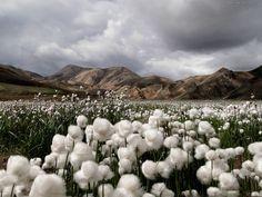 Cotton grass, Landma